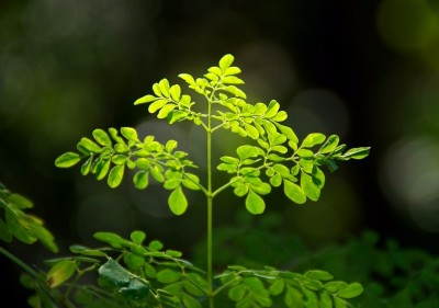 Moringa: The Tree of Life